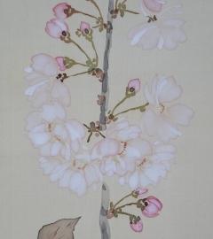 吉田登穀 櫻花白鳩